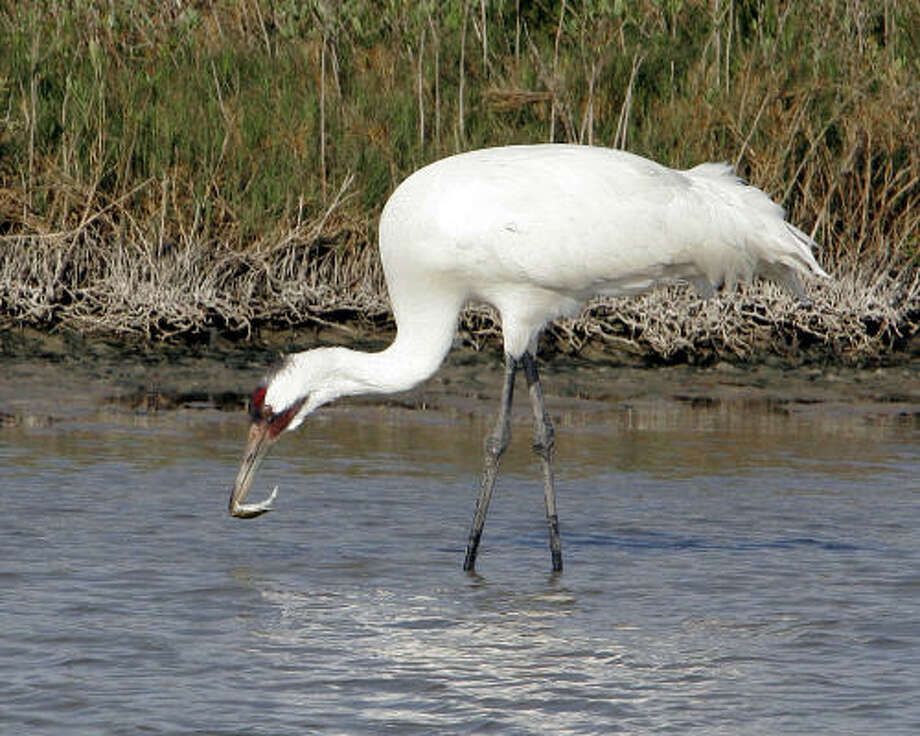 A whooping crane snacks on a crab at the Aransas National Wildlife Refuge. Photo: Ron Heflin, Associated Press