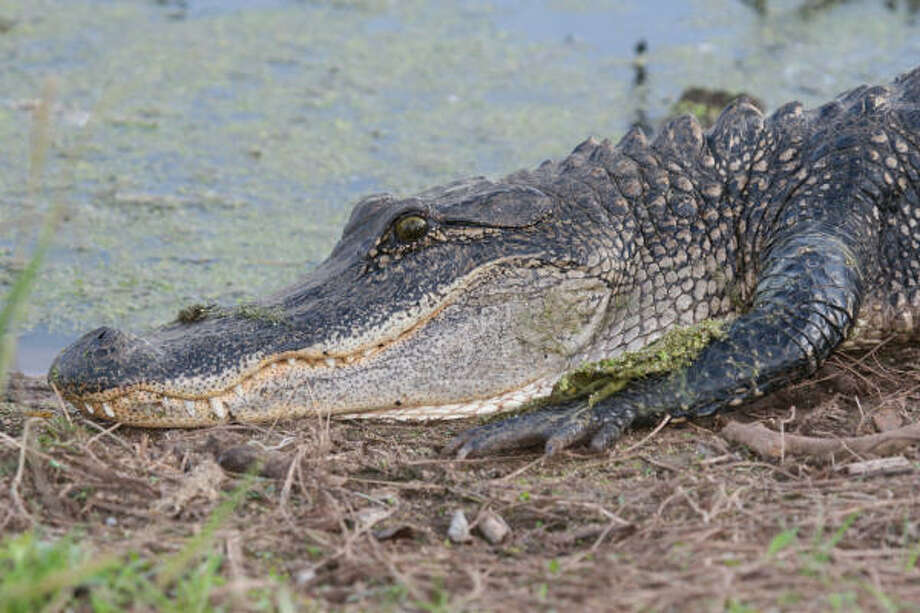 One bill likely to pass this session of the Texas Legislature would require people to keep edible portions of alligators, crabs, shrimp and oysters in edible condition, to cut down on waste. Photo: Shannon Tompkins, Houston Chronicle