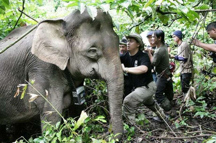 World Wildlife Fund workers check a collar fitted with a satellite tracking unit on a pygmy elephant in Sabah, Malaysia. Data reveal there are probably no more than 1,000 of the animals left. Photo: WORLD WILDLIFE FUND