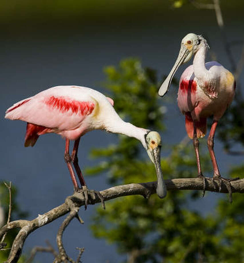 Roseate spoonbills are among the colorful birds at Houston Audubon Society's High Island bird sanctuaries this month. Photo: Kathy Adams Clark