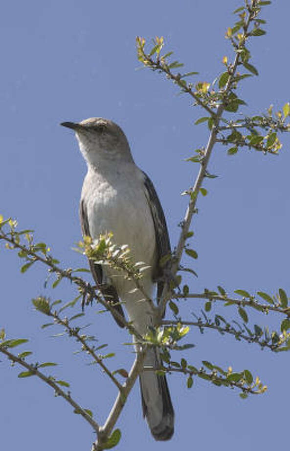 The song of the Northern mockingbird is one indication spring is one the way. Photo: Kathy Adams Clark