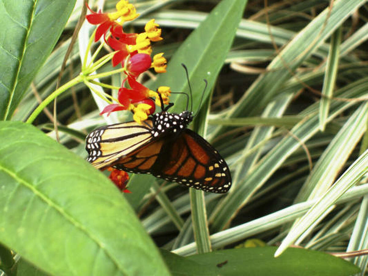 A monarch butterfly feasts on a Mexican milkweed plant in the Tanglewood area of Houston.