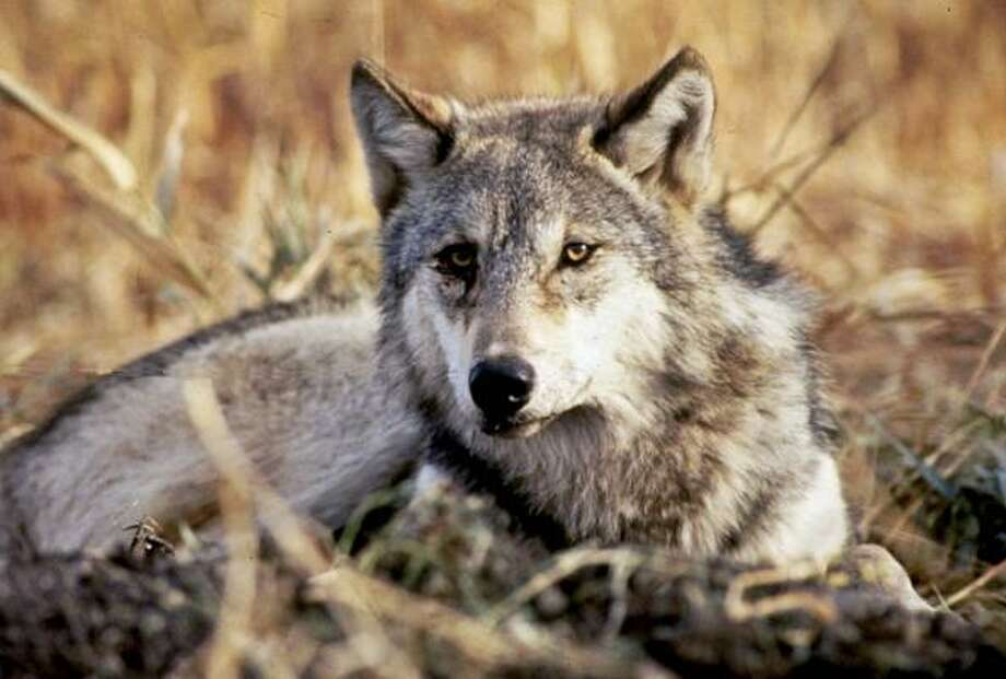 Gray wolf Photo: NATIONAL FISH AND WILDLIFE, NYT