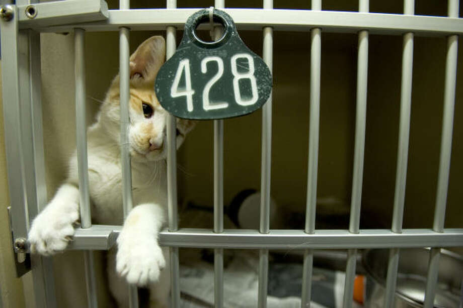 An orange and white cat peers through the bars of its pen as it awaits adoption at the Harris County animal shelter. Photo: Brett Coomer, Chronicle