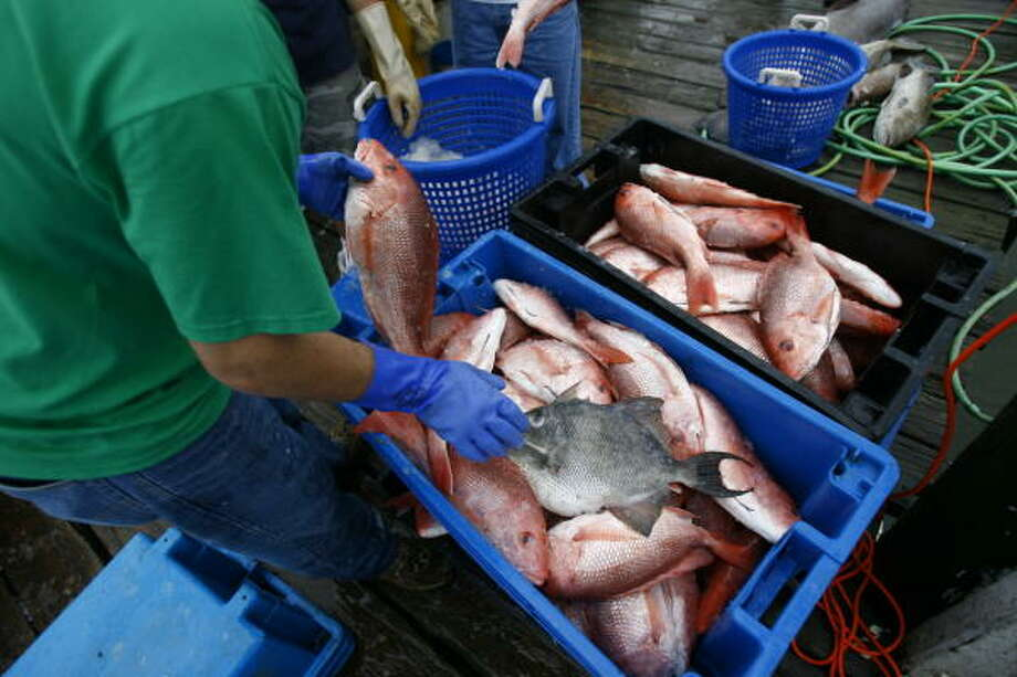 Ben Kerry Kiehl unloads a haul of red snapper April 1 at a Freeport dock. Because of a depleted stock, federal regulators have started limiting the amount of snapper a fisherman can catch. Photo: Nick De La Torre, HOUSTON CHRONICLE