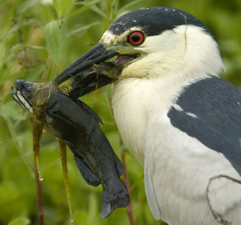 A black-crowned night heron snares a fish at the 34,000-acre Anahuac National Refuge in the upper Texas Gulf Coast. Photo: Carlos Javier Sanchez, For The Chronicle