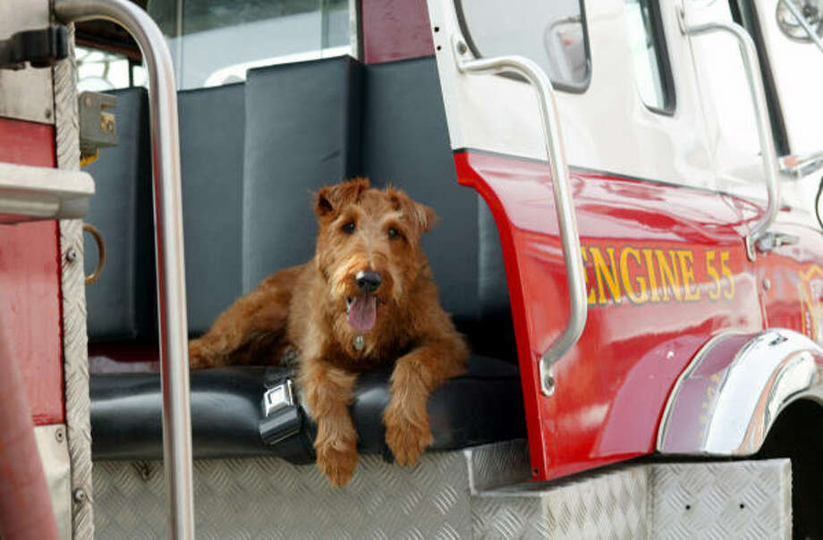 Hollywood idol Rex enjoys his new status as a firehouse mascot. Photo: 20th Century Fox