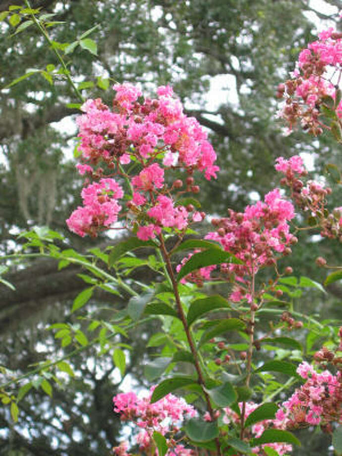 Crape myrtle Photo: Brenda Beust Smith, For The Chronicle