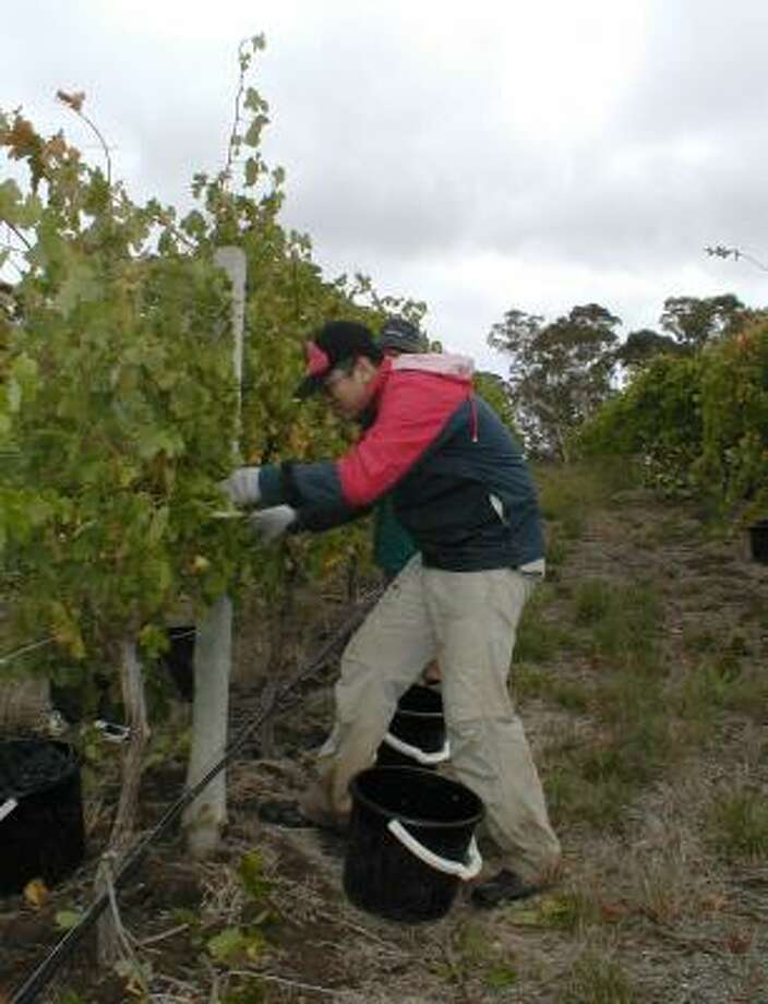 A vineyard worker harvests grapes at Longview Vineyard in South Australia. Longview makes several wines, including a nebbiolo. Photo: LONGVIEW VINEYARD