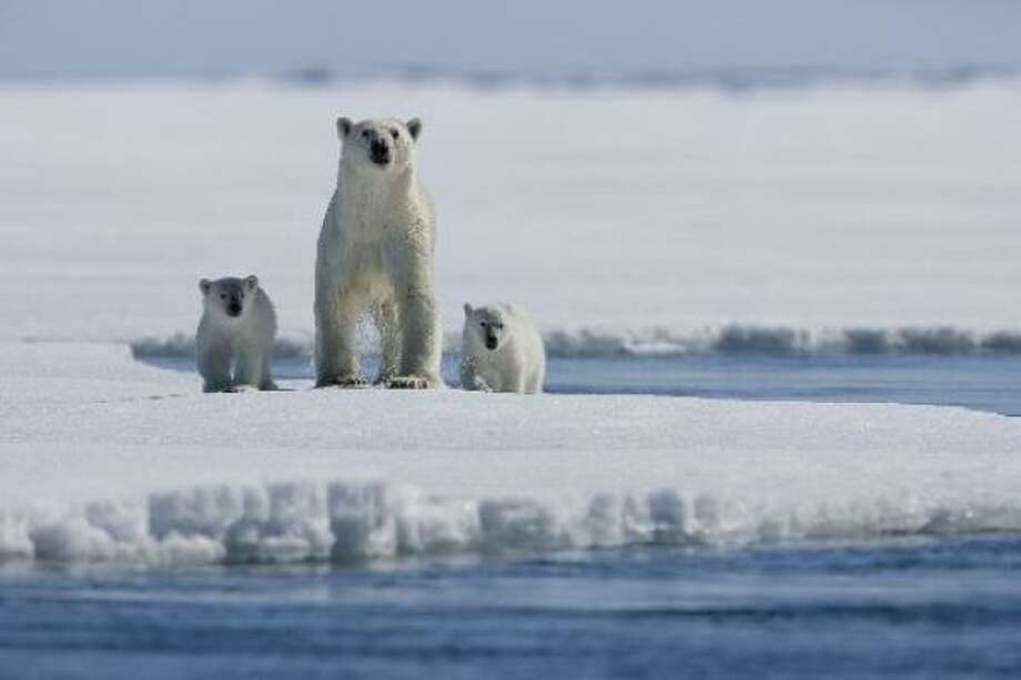 Young polar bear Nanu travels with her family in Arctic Tale. Photo: Paramount Classics