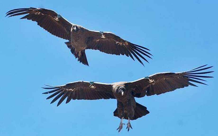 These two young Andean condors were released into the Argentine wild in 2005. The condor is one of the largest flying birds in the world. It's a symbol of pride across South America. Photo: NATACHA PISARENKO, ASSOCIATED PRESS