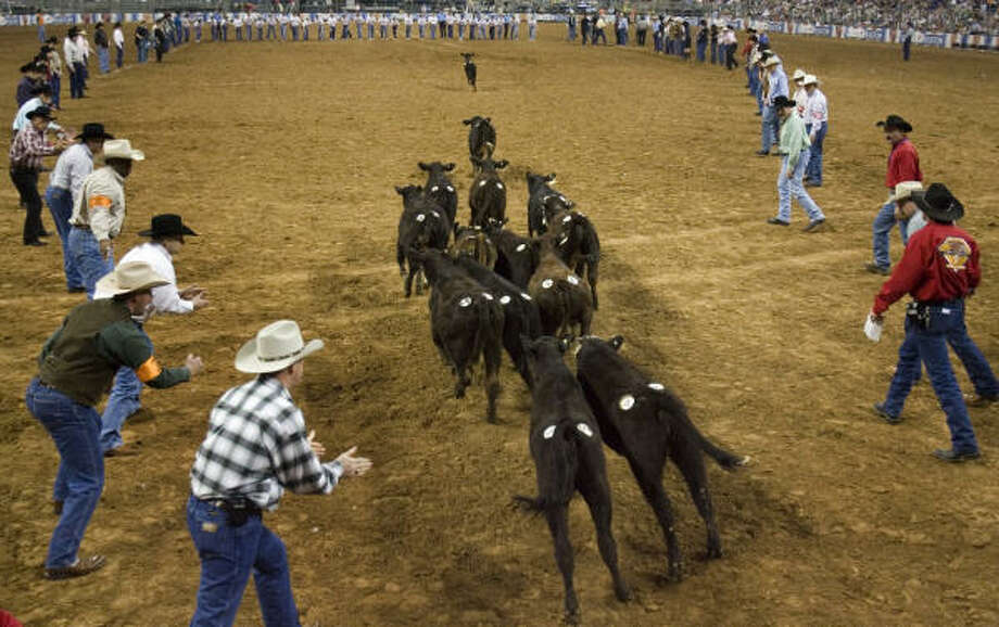 Members of the Calf Scramble Committee direct the animals into the arena during Saturday's Super Series Championship. Calf Scramble is one of the most coveted committees to be on. Photo: SMILEY N. POOL, CHRONICLE
