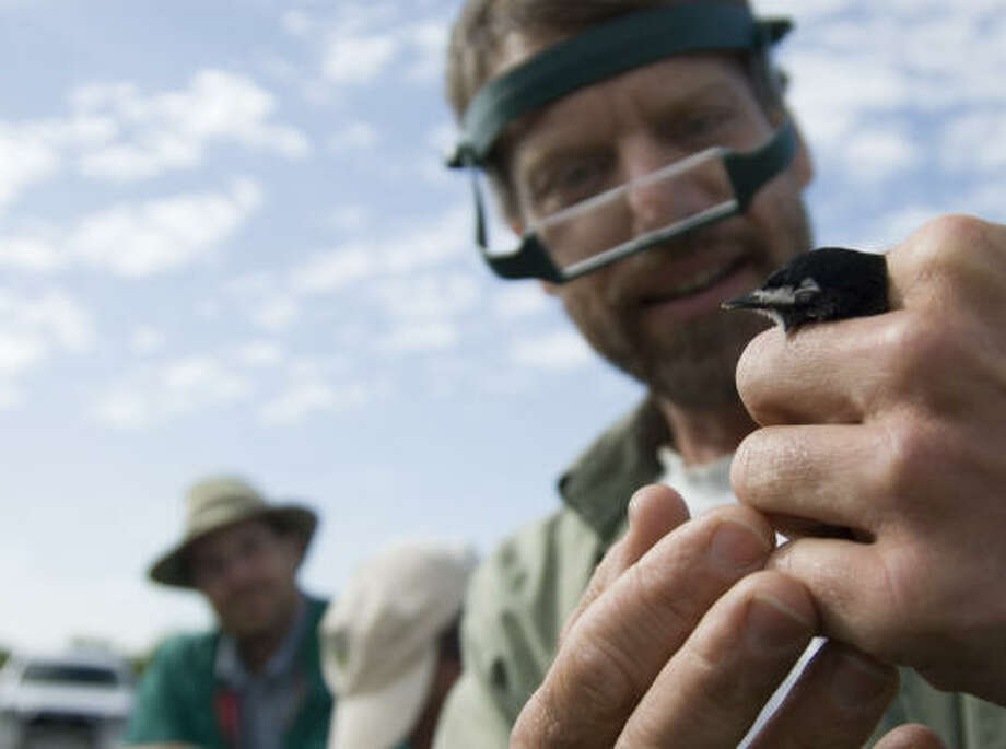 Nature Conservancy biologist David Cimprich makes observations and takes measurements on a black-capped vireo captured for banding. Photo: Mark Matson, For The Chronicle