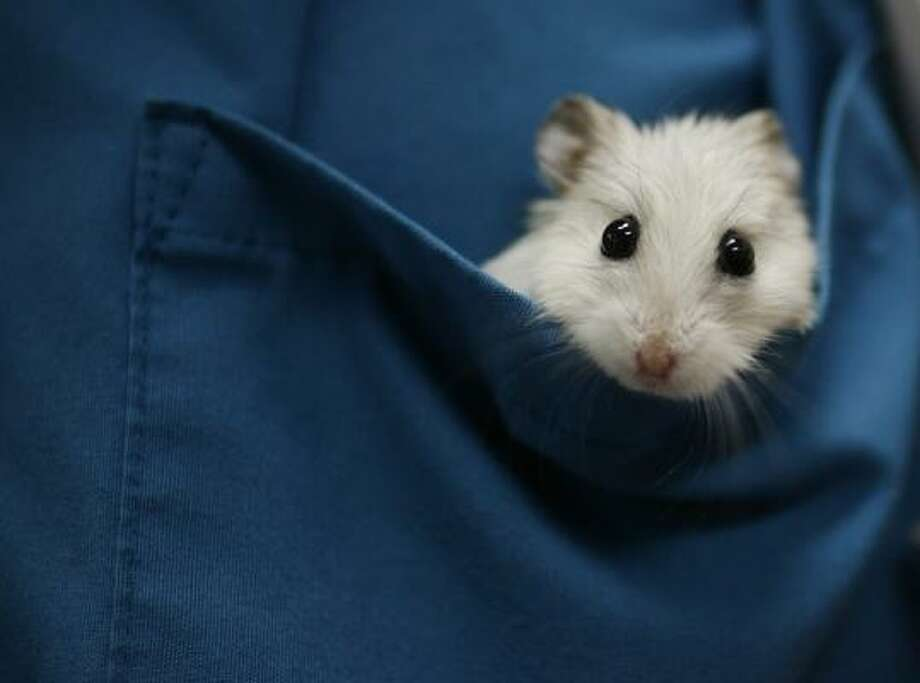 Squirt, the office hamster at Gulf Coast Veterinary Specialist, was nursed back to health after being injured in a fight with another hamster. Photo: Sharon Steinmann, Chronicle