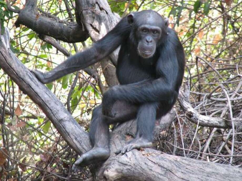 Researchers say this female chimp in Senegal uses spears to hunt small mammals. Photo: Maja Gaspersic, IOWA STATE