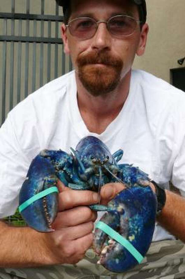 Steve Hatch holds a rare blue lobster that he and his uncle Robert Green caught on Sunday in a trap at the mouth of the Thames River in New London, Conn. Photo: Milton Moore, AP