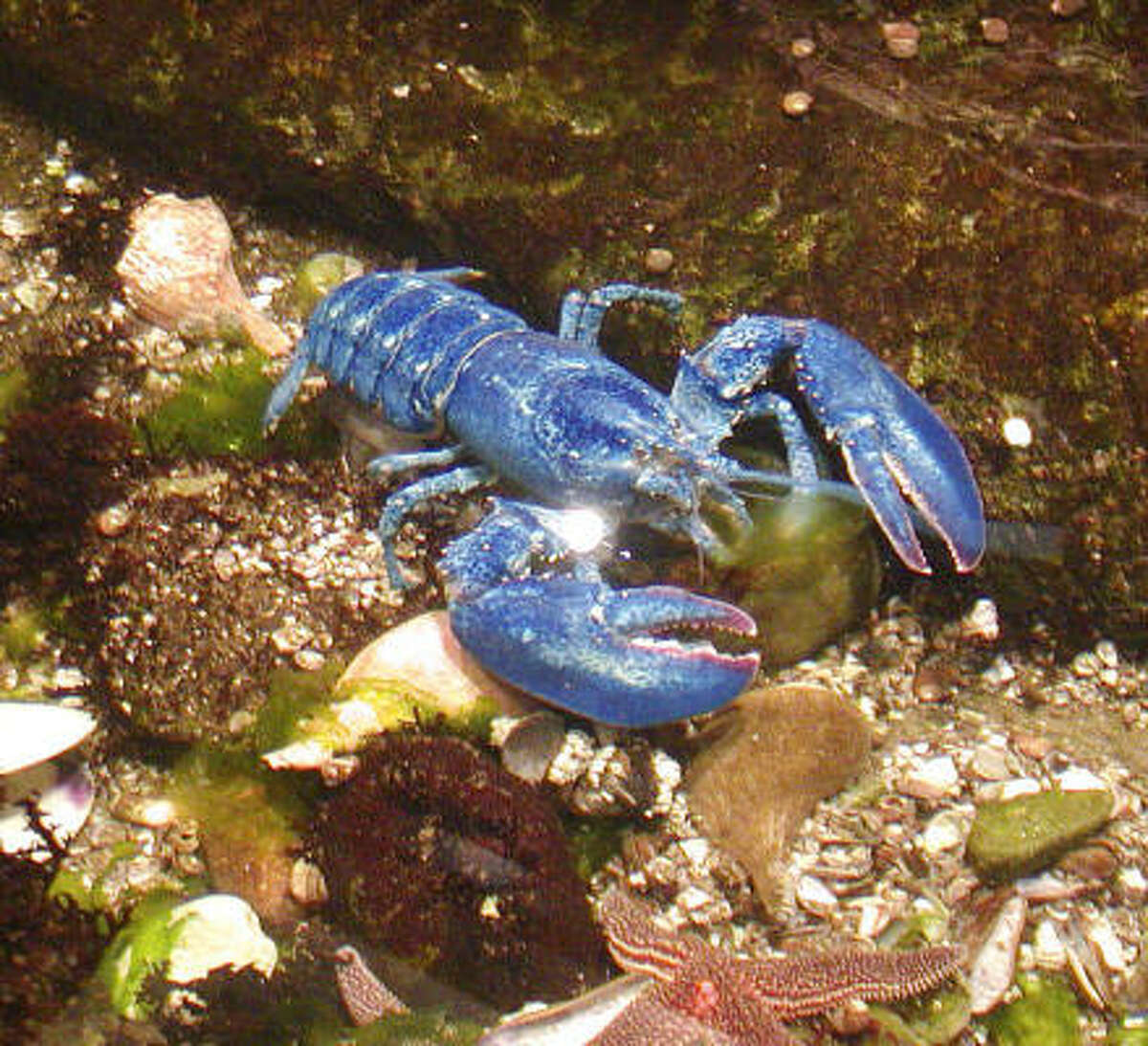 In this 2005 photo provided by the Audubon Society of Rhode Island, a blue lobster is seen. The female lobster has molted and that means her blue color is extremely bright and intensely hued. Blue lobsters are extremely rare.