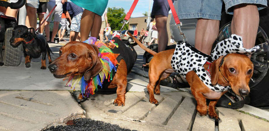 Dachshunds Kirby and Katie tug at their leashes just before the kickoff of the Key West Dachshund Walk, an annual New Year's Eve stroll for short-legged canines and their owners in Key West, Fla. Photo: ANDY NEWMAN, AFP/Getty Images