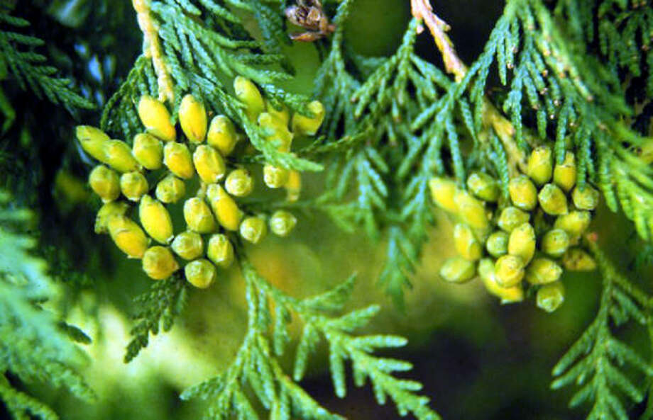 Thuja occidentalis Photo: U.S. FOREST SERVICE