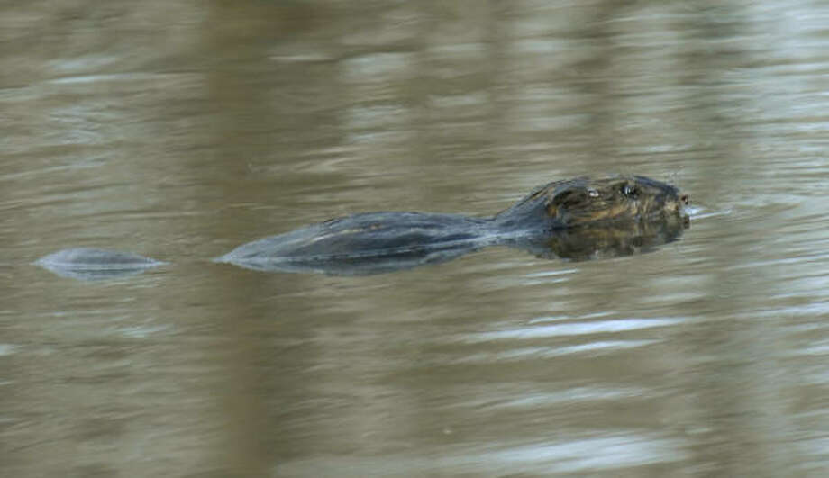 A beaver navigates the Bronx River this week. Photo: Julie Larsen Maher, AP/Wildlife Conservation Society