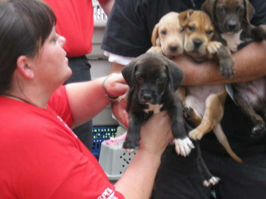 Volunteers take in puppies rescued from Galveston Island. Photo: Houston SPCA