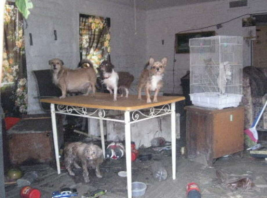 Volunteers searching for animals on Galveston Island came across these five trembling dogs left behind by their owner as Ike's floodwaters rose. Despite taking refuge on a table, the high-water mark was above their heads and the animals had clearly spent the night swimming for their lives. Photo: Houston SPCA