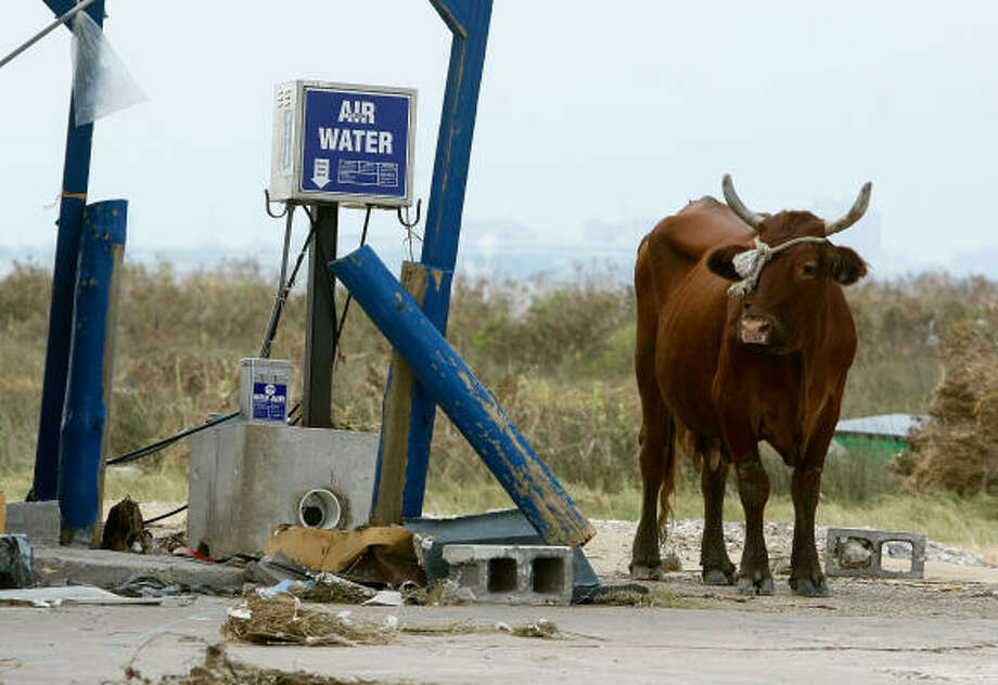 A cow stands near the ruins of a store Sept. 8 in Bolivar. Photo: Mark Wilson, Getty Images