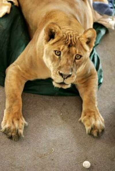 Shackle, an 11-year-old African lioness lays on an altar at the First Baptist Church on Sept. 16 in