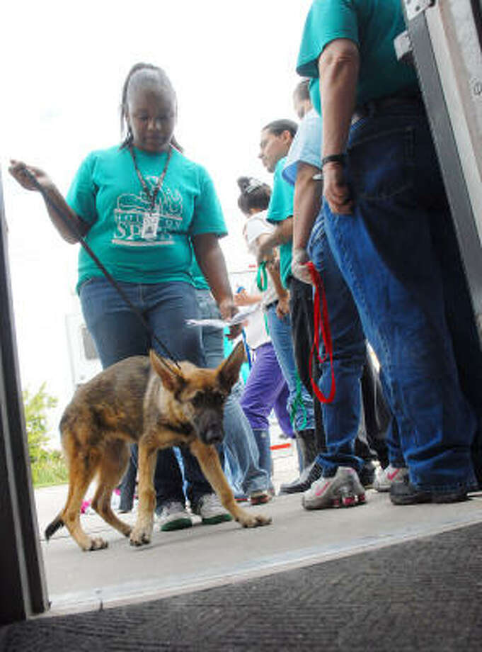 Employee Jessica Joyce leads one of the several dogs brought from Galveston into the Houston SPCA Sept. 18. Photo: Dave Rossman, For The Chronicle
