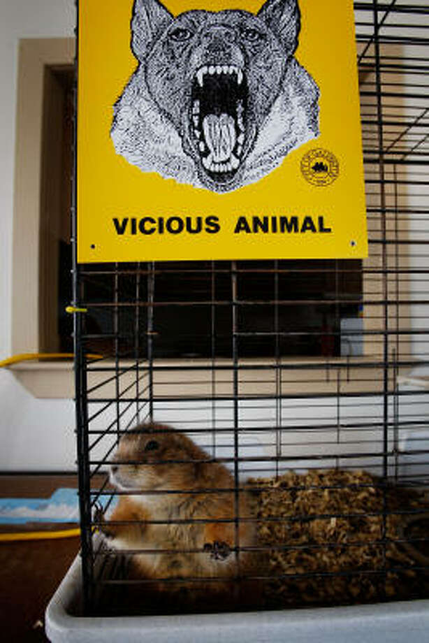 An abandoned pet prairie dog sits in its cage at the animal shelter. Photo: Scott Olson, Getty Images