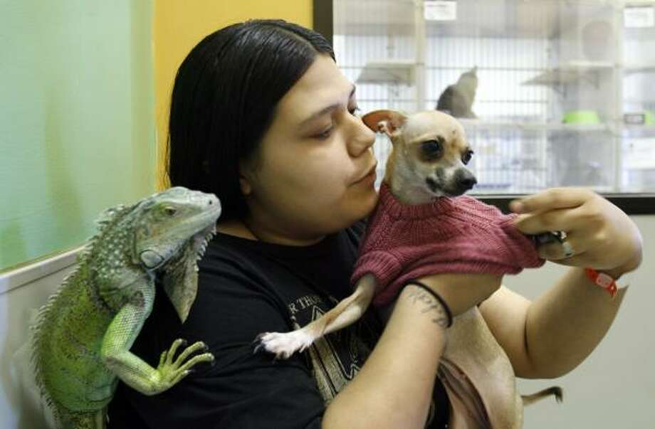 Ida Navejar, 19, an evacuee from Galveston who's staying in Austin, dresses one of her pet Chihuahuas during a visit with her family's five animals, which are being boarded at the Austin Humane Society. Photo: Harry Cabluck, AP