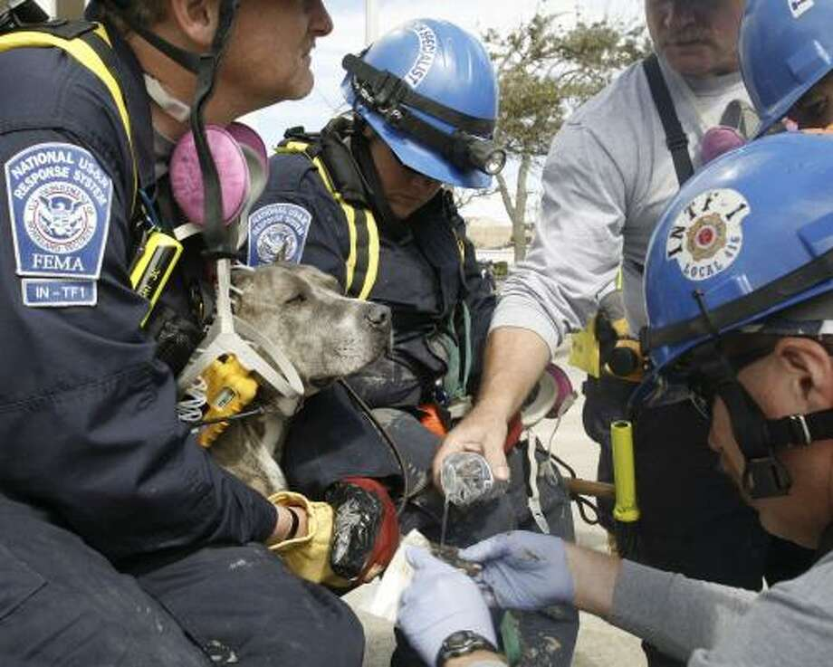 After he cut his foot on glass in Galveston, search and rescue dog Doc gets first aid from members of a FEMA team from Indiana Tuesday. He needed stitches. Photo: LM Otero, AP