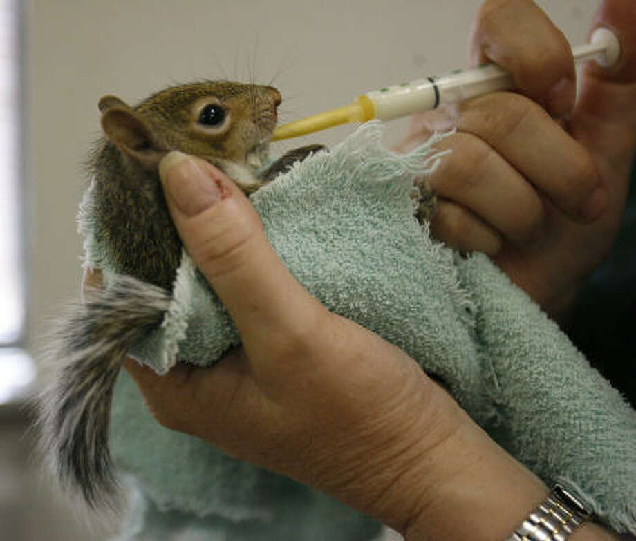 Volunteer Lydia Abuisi feeds a baby squirrel with a syringe at the Houston SPCA on Sunday. The group's  Wildlife Rehab and Education Center opened its doors Sunday after they had power outages and over 200 squirrels were rescued by citizens during the aftermath of Hurricane Ike. Photo: Karen Warren, Chronicle