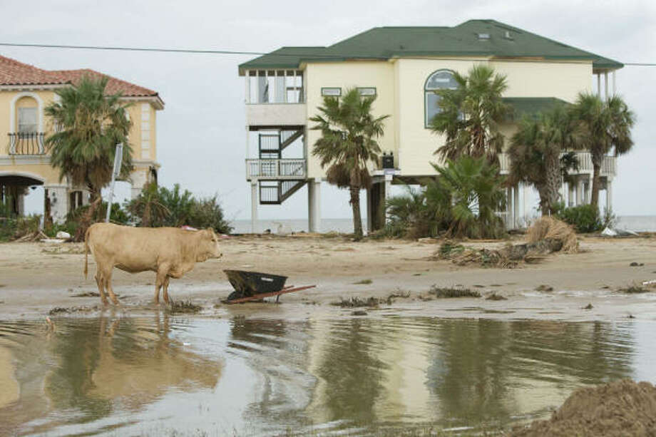 A cow stands by a puddle near damaged homes in the West End of Galveston Sunday. Photo: Brett Coomer, Chronicle