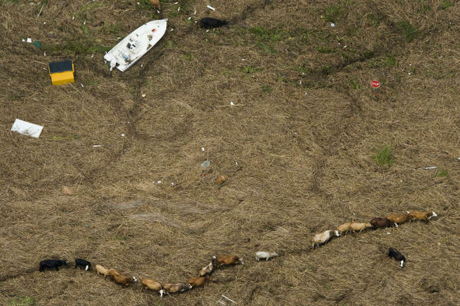Cattle are seen amidst debris covering Texas Highway 73 near Winnie after Hurricane Ike. Photo: Smiley N. Pool, Chronicle