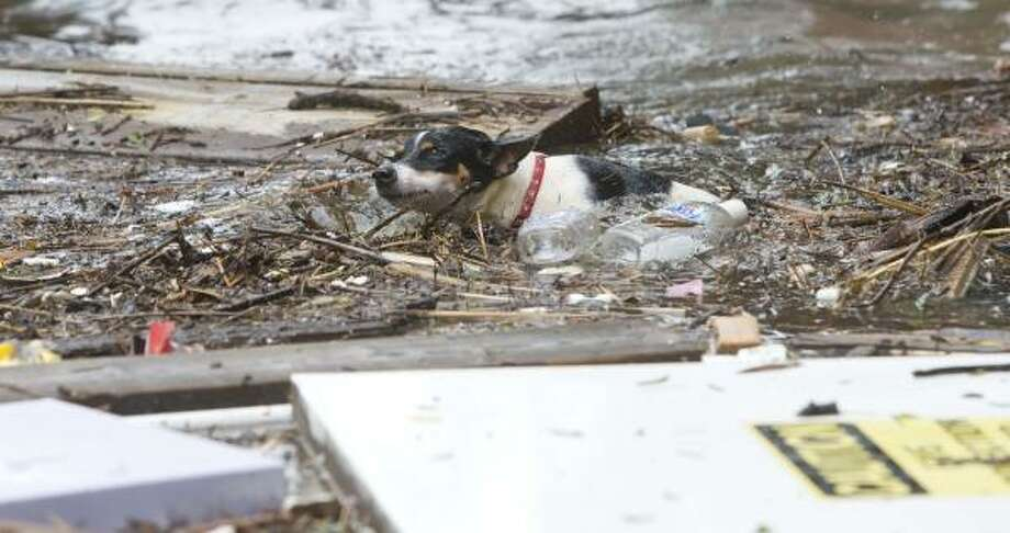 A dog swims through Galveston's floodwaters and debris in the aftermath of Hurricane Ike on Saturday. Photo: Brett Coomer, Chronicle