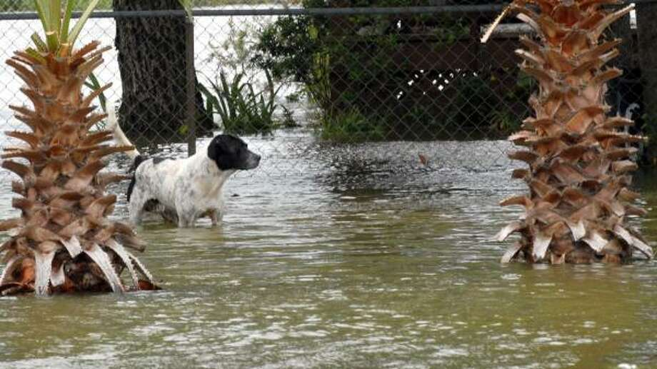 A dog stands in floodwaters from Hurricane Ike's storm surge in San Leon, a few miles from Galveston. Photo: Kim Christensen, AP