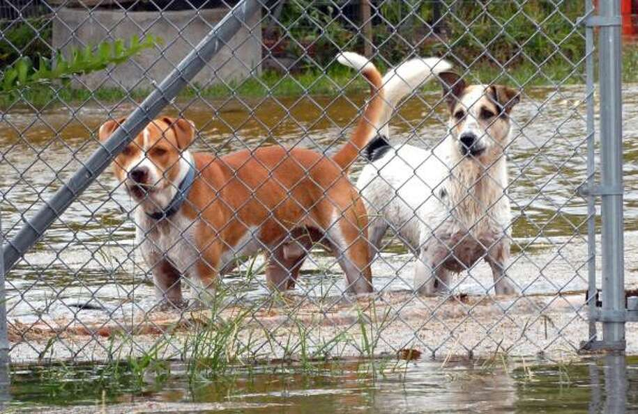 Two dogs were left in a backyard in San Leon Friday as the storm surge from Hurricane Ike rose.