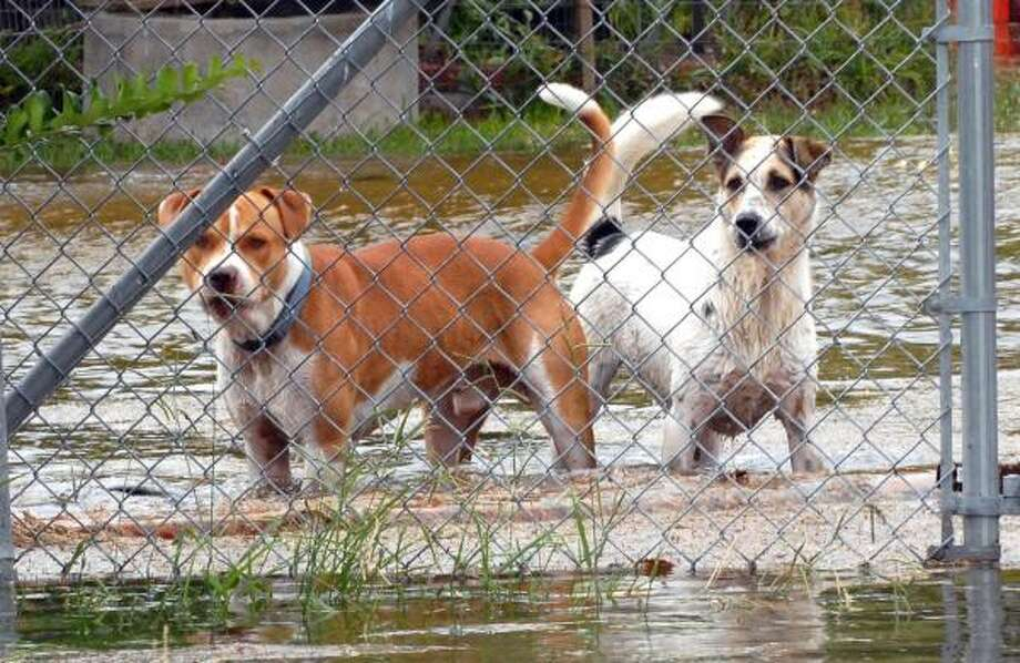 Two dogs were left in a backyard in San Leon Friday as the storm surge from Hurricane Ike rose. Photo: Kim Christensen, AP