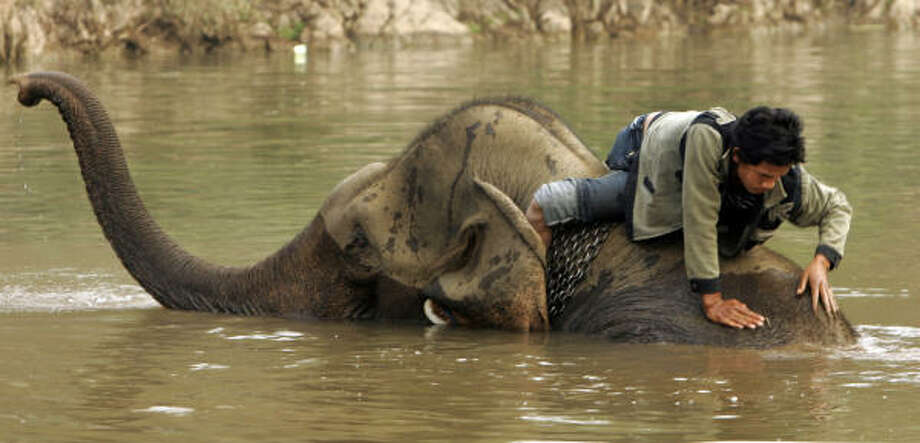 Feb. 17 | A Laotian mahout, or a keeper and driver of an elephant, gives his elephant a bath at the second annual elephant festival. | Paklay, Laos Photo: David Longstreath, AP