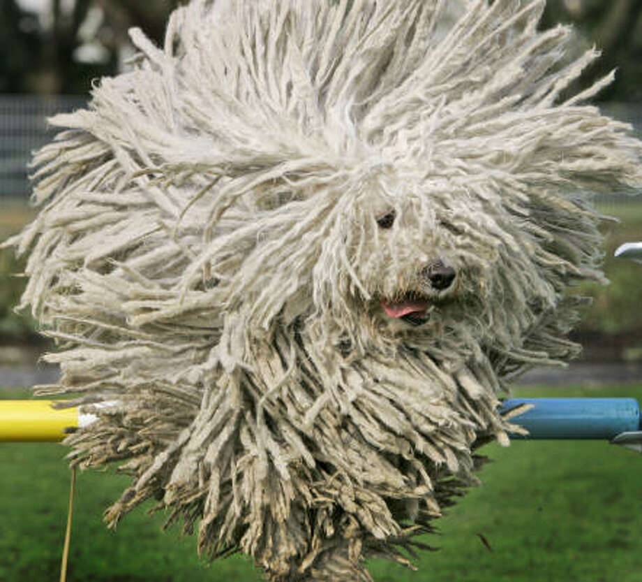 April 24 | Fee, a Hungarian Puli sheep dog, makes a dramatic jump over a hurdle during a preview for a pedigree dog show. |  Dortmund, Germany Photo: Frank Augstein, AP
