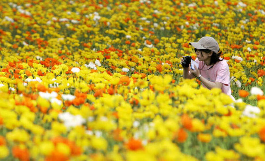 May 1 | A visitor photographs the poppy fields in suburban Tokyo. Some 100,000 poppies were full bloom in the park. | Tachikawa City, Japan Photo: Shizuo Kambayashi, AP