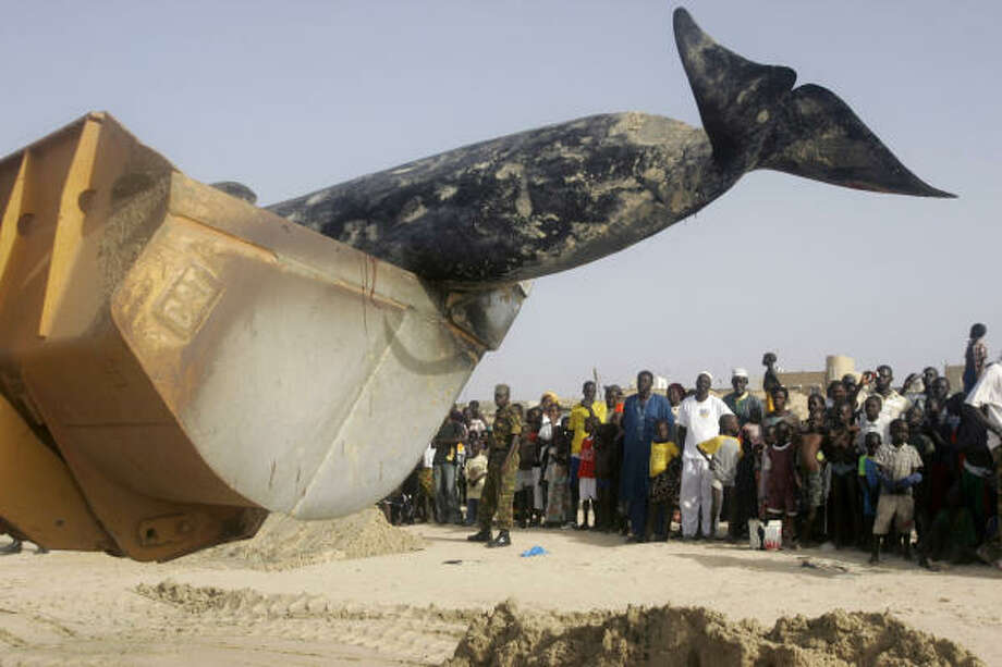 May 21| Neighborhood residents look on as the body of a whale is removed by bulldozer on Yoff beach. | Dakar, Senegal Photo: REBECCA BLACKWELL, AP