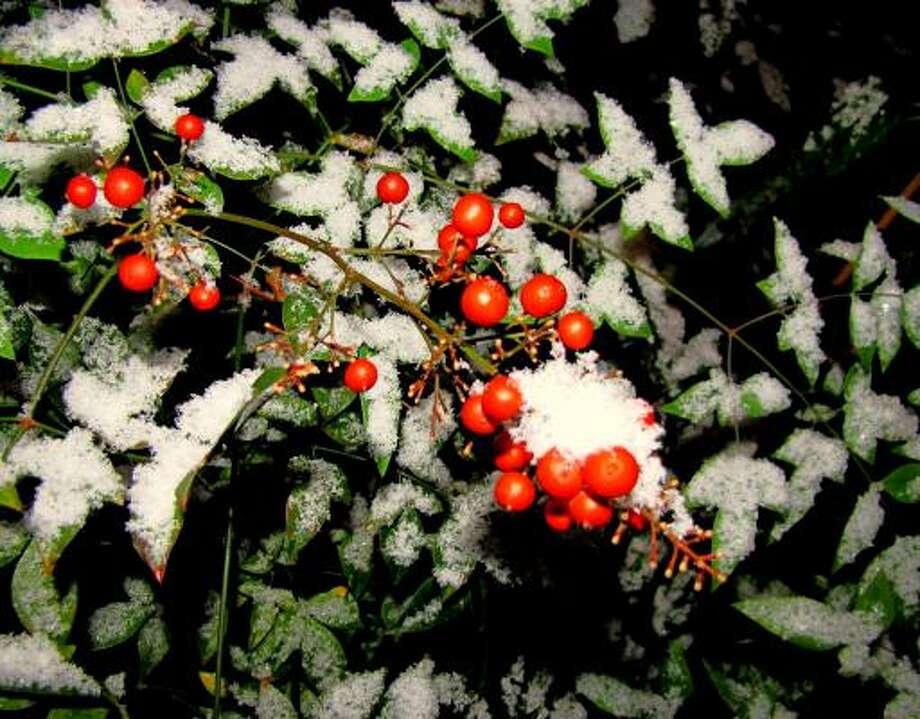 Nandina berries in the snow More: Favorite garden blogger photos from December | Houston Plant Database | HoustonGrows.com Photo: Brendasue, Chron.commons