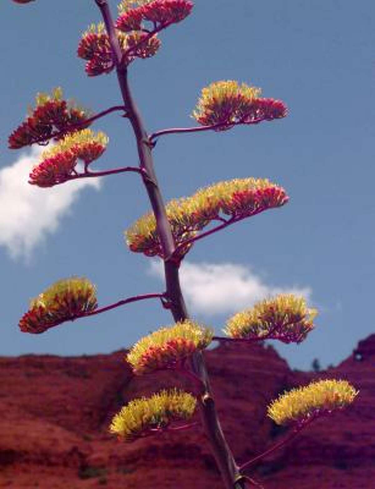 An agave plant blooms in Sedona.