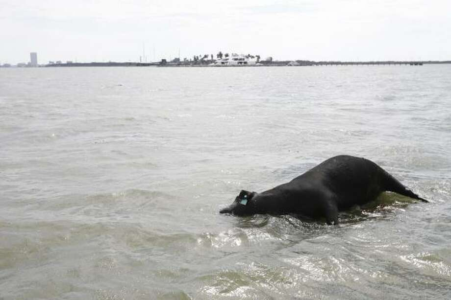 Losses | the hurricane scattered carcasses of cattle and other animals into waterways, posing health risks. | Sept. 15 | Galveston Photo: Nick De La Torre, Houston Chronicle