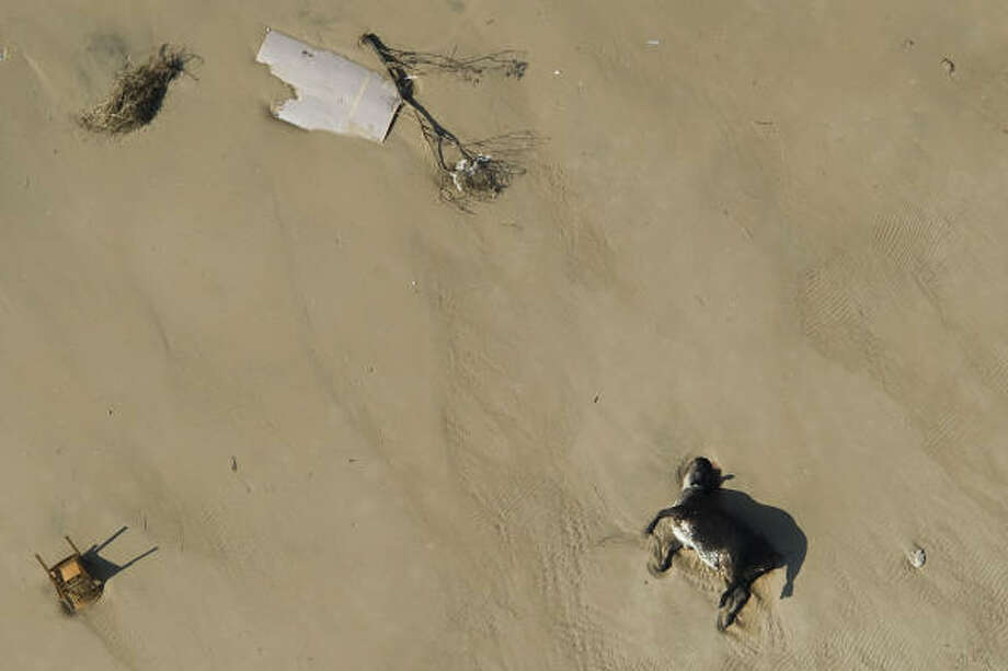 Somber beach| A livestock carcass lies amidst debris left by the hurricane. | Sept. 15 | Crystal Beach Photo: Smiley N. Pool, Houston Chronicle