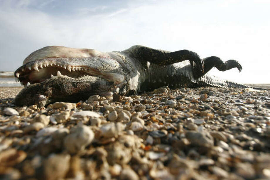 Lifeless   | A dead alligator lies on the beach more than a week after the hurricane. | Sept. 23 | Bolivar Peninsula Photo: Sharon Steinmann, Houston Chronicle