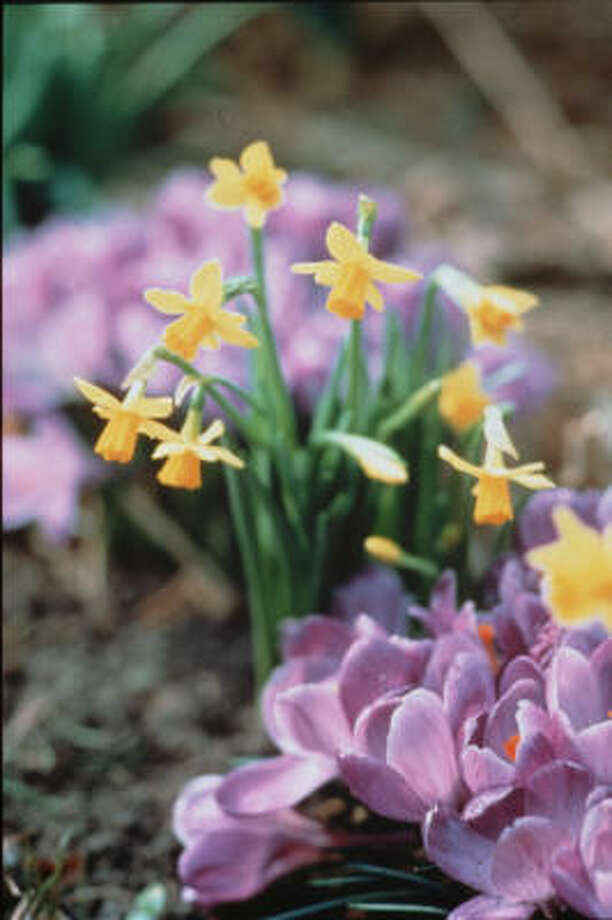 Delicate yellow daffodlis can make a lovely garden counterpoint to purple crocuses. Photo: Netherlands Flower & Bulb
