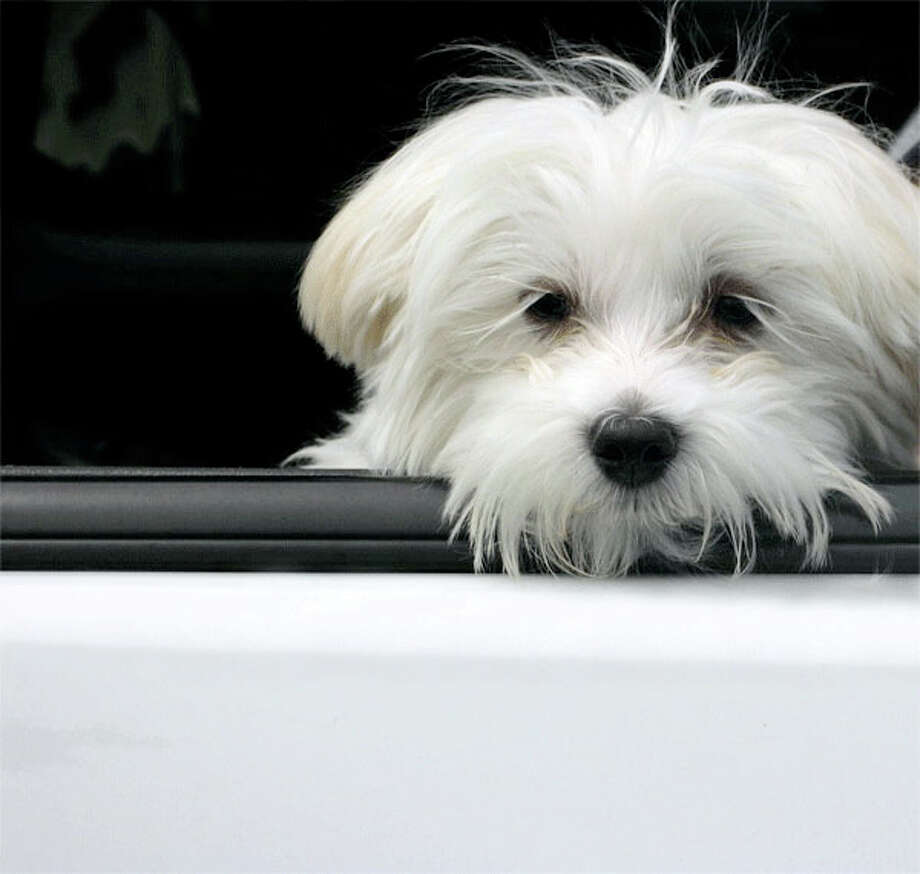 AAA Southern New England reminds drivers to keep their hands on the wheel while driving with their pets. Photo courtesy of stock-xchng. Photo: Contributed Photo